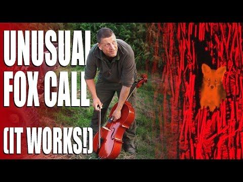 Unusual fox calls