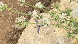 El Segundo Blue Butterflies July 2019 Vicente Bluffs Reserve by Cynthia Woo, Conservancy Volunteer
