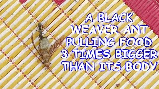 Black weaver ant took larger food home | Weaver ant pulling food 3 times bigger than its body