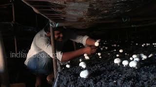 Mushroom Farming, Hisar