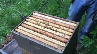 Splitting a honey bee hive too early with winter bees PART 3