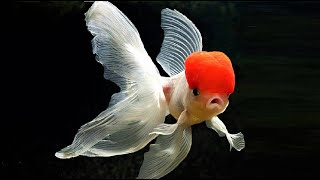 10 Most Beautiful Goldfish Species In The World