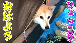 柴犬小春 空腹?朝ひょっこりテントから飛び出すが柴犬 宍粟市キャンプ後編