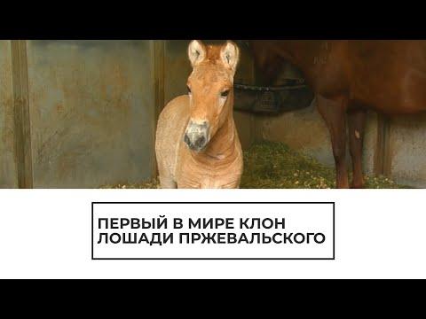 Первый в мире клон лошади Пржевальского