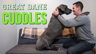Do Great Danes Like To Cuddle? | Great Dane Care