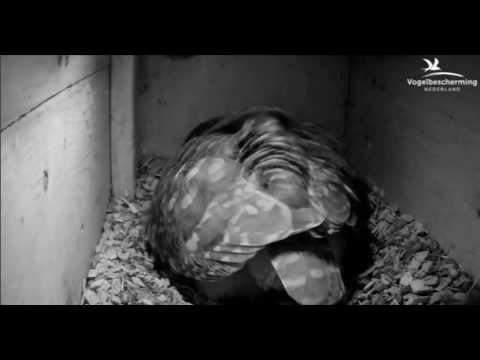Little Owls Family 1: First Egg - 01.04.17