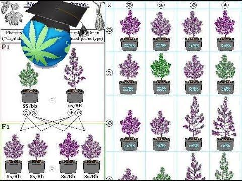 , title : 'Cannabis Breeding Basics - Advanced Topic