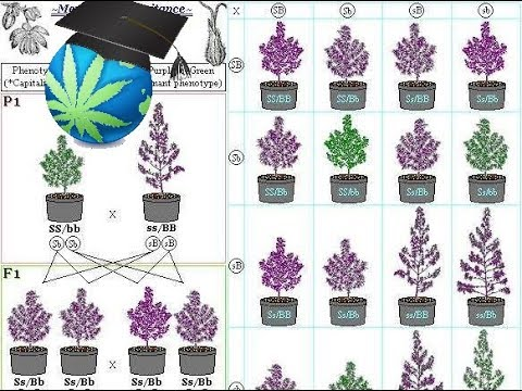 Cannabis Breeding Basics - Advanced Topic