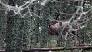Hirschjagd In Den Karpaten - Red Stag Hunting In The Carpathian Mountains