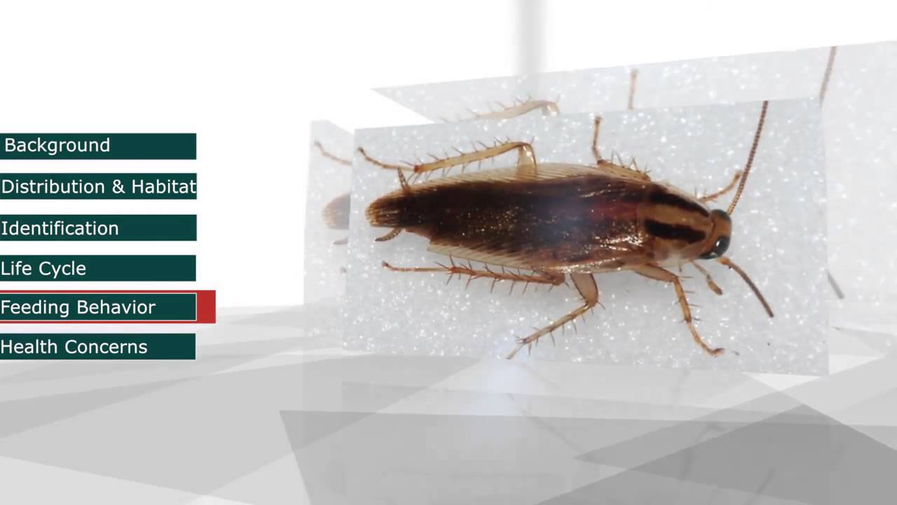 German Cockroach Biology