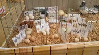 Птицеводство Германии. Выставка домашней птицы в городе Rheinberg.