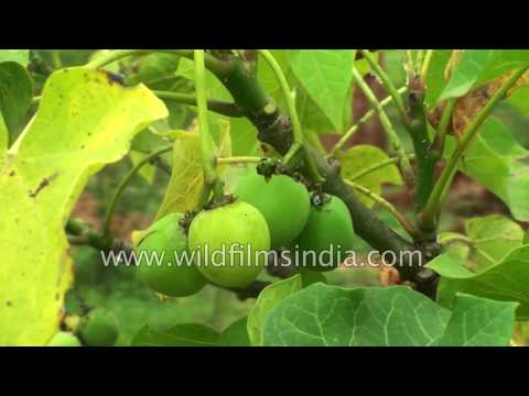 Video Jatropha curcas - cultivable hope for future biodiesel products
