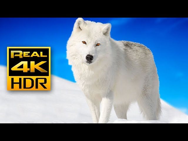 Majestic Winter Wildlife in 4K HDR 🐺❄️Arctic Wolves, Foxes and More | Relax Music 4K TV Screensaver