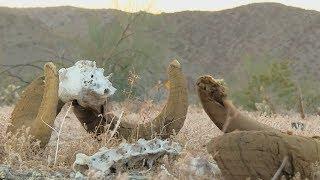California Desert Tortoise in danger following five-year drought