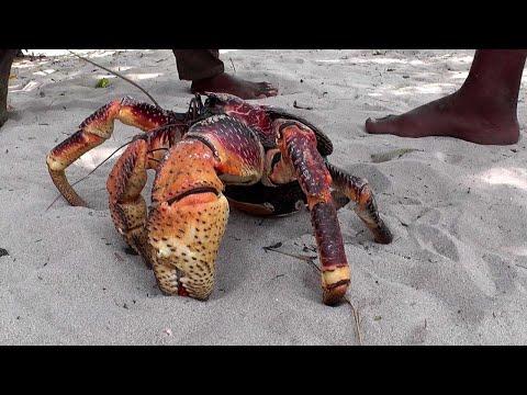 Гигантский Кокосовый Краб! 15 Невероятных Животных, о Которых Вы Должны Знать!