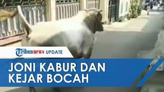 Viral Video Sapi Bernama Joni Kabur dan Mengejar Bocah di Jaksel, Sempat Menyeruduk Kandang Kambing
