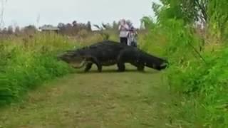 Крокодил очень похожий на динозавра!!