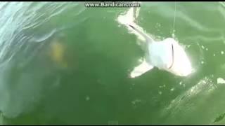 Giant sea creature eat a shark on camera.
