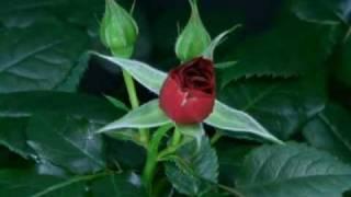 Růže pro Zuzi