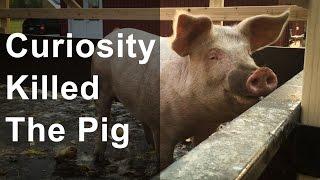 Curiosity Killed The Pig