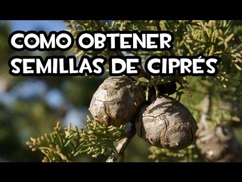 Como obtener Semillas de Ciprés | La Huerta de Ivan