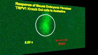 azelastine: effect on CATH.a and MEF(TRPV1 knock out) cell