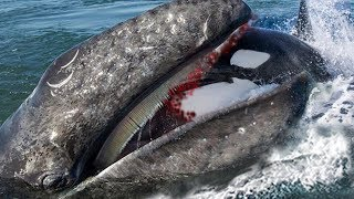 Big Battle Between Gray Whale Vs Dolphin