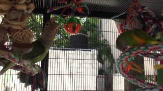Truman Cape Parrot and Kili Senegal Parrot in Aviary Together