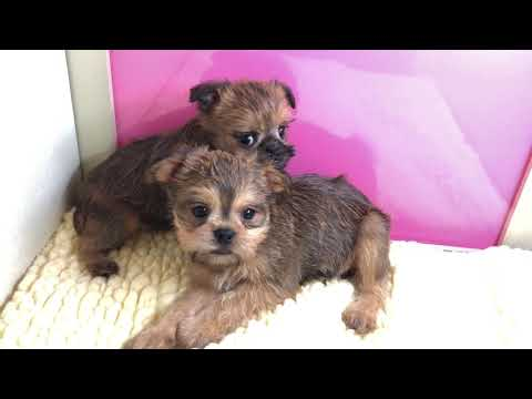 Brussels Griffon for sale, Empire Puppies