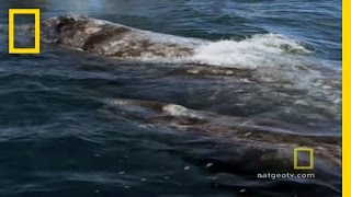 Killer Whale - Hunting in Pods (Grey Whale)