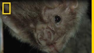 Vampire Bats Biting People | National Geographic thumbnail