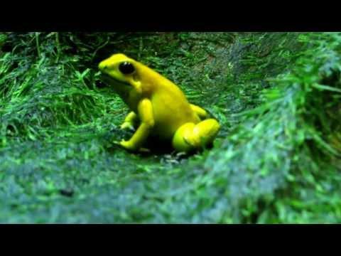golden poison frog , Phyllobates terribilis, La Rana mas Venenosa del mundo, Selvas del Choco