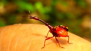 Giraffe weevil male indonesia