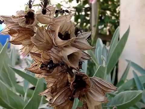 fourmis récolte graine de sauge
