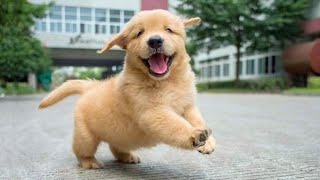 Funniest & Cutest Golden Retriever Puppies - 30 Minutes Of Funny Puppy Videos 2020