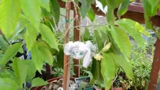 Rooting Trees From A Branch - The Root Ball Method.Magnolia Champaca