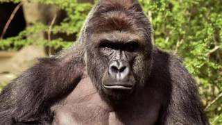 Rest in R.I.P Harambe (Cover)