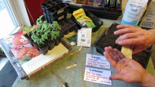 Great Herbs! How to Seed Start Sage & Lavender Indoors: Slow Growers! - MFG 2014