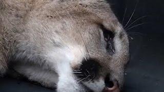 القبض على حيوان أسد الجبل أثار الرعب لسكان سان فرانسيسكو