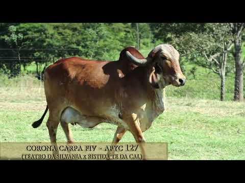 Corona Carpa FIV - AFYC 127