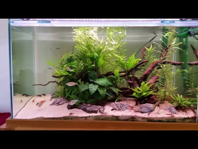 Corydoras and bosemani rainbow community planted fish tank