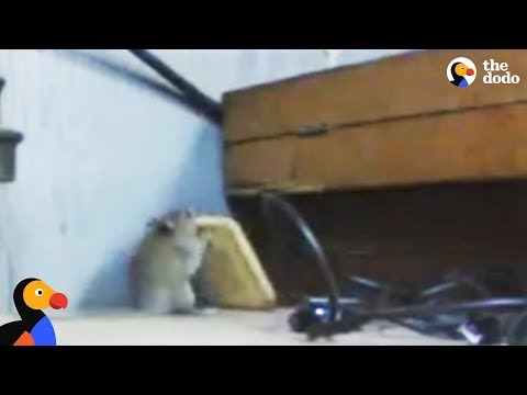 Determined Mouse Steals A Cracker   The Dodo