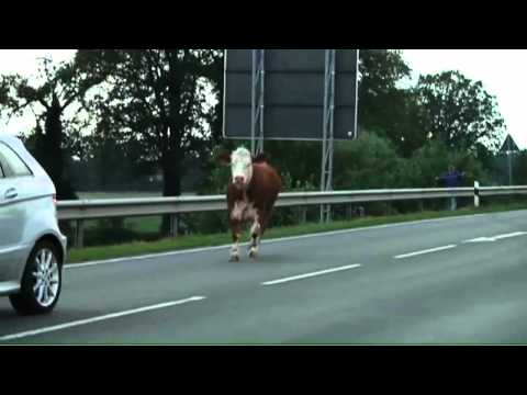 Bei der Kuh die bittere Milch von den Würmern