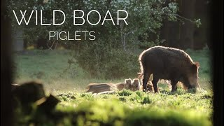 Cute wild boar piglets playing and annoying their mom