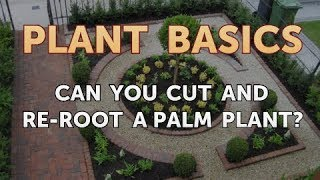 Can You Cut and Re-root a Palm Plant?