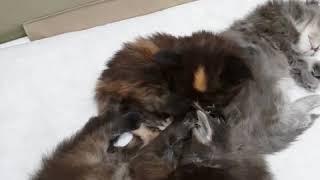 Калинка, Клюква и Кратос (23 дня) mainecoon kitten