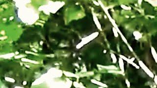 5 Terrifying Bigfoot Videos That NEED Explaining