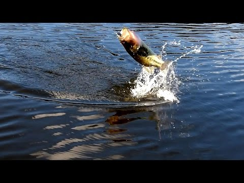 FLY fishing & BLACK bass