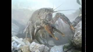 America's Crayfish: Crawling In Troubled Waters