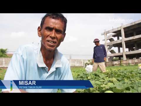 Kisah Petani Timun Suri di Bekasi
